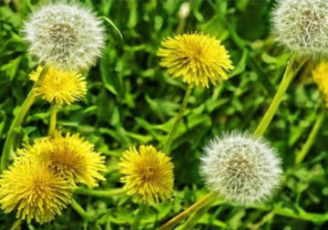 piante spontanee tarassaco