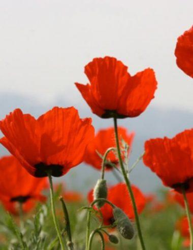 Papavero, il fiore spontaneo ricchissimo di proprietà e sapore