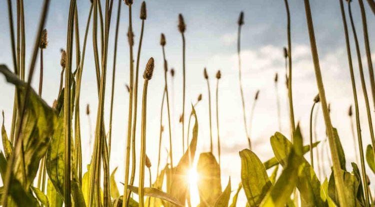 piantaggine piante spontanee