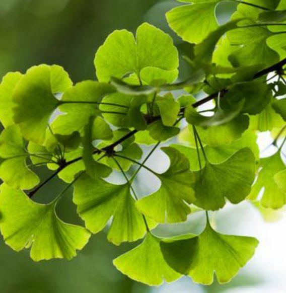 Ginkgo Biloba, la pianta miracolosa che fa bene a tutto il corpo