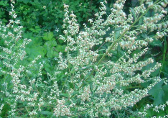 olio-artemisia-absinthium