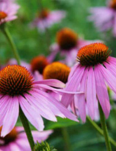 Echinacea, l'antibiotico naturale che protegge il sistema immunitario
