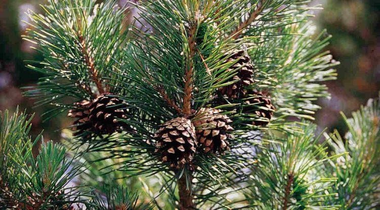 pino silvestre olio essenziale