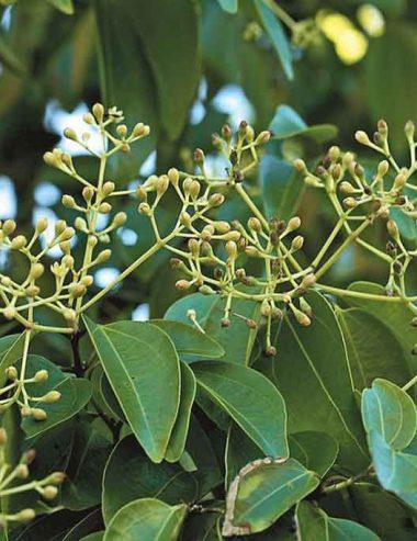 Olio essenziale di Ravensara Aromatica: proprietà e usi