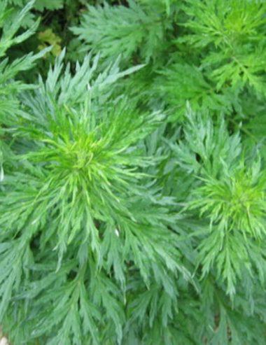 Artemisia, la pianta curativa conosciuta in tutto il mondo