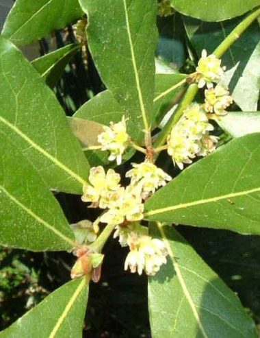 Olio essenziale di Lauro Nobile: proprietà e usi