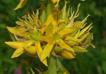 Genziana, la radice amara che favorisce il benessere intestinale e rinforza le difese