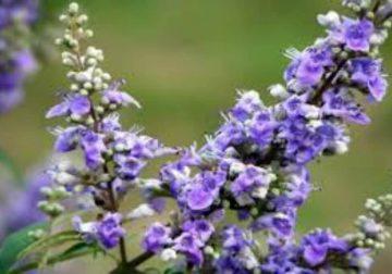 Agnocasto, la pianta preziosissima amica della salute delle donne