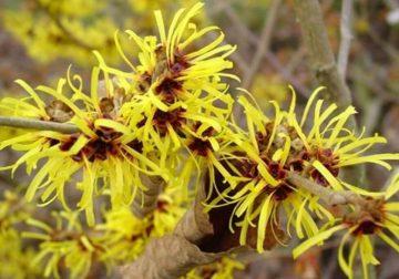 Amamelide, la pianta officinale che si prende cura delle vene