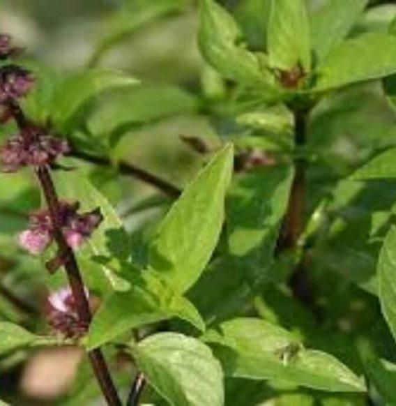 Olio essenziale di basilico indiano, tonico per mente e corpo