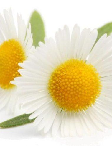 Bisabobolo, l'attivo naturale cosmetico perfetto per le pelli delicate