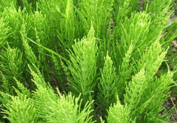 Equiseto, la pianta officinale che ti aiuta a restare in forma