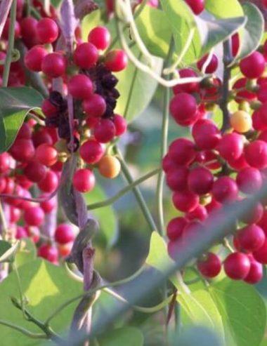 Olio essenziale di guduchi, il nettare degli dei della medicina ayurvedica
