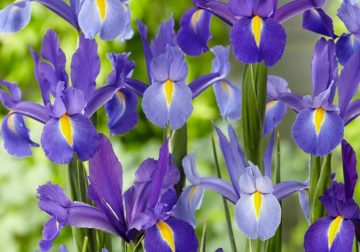 iris olio essenziale