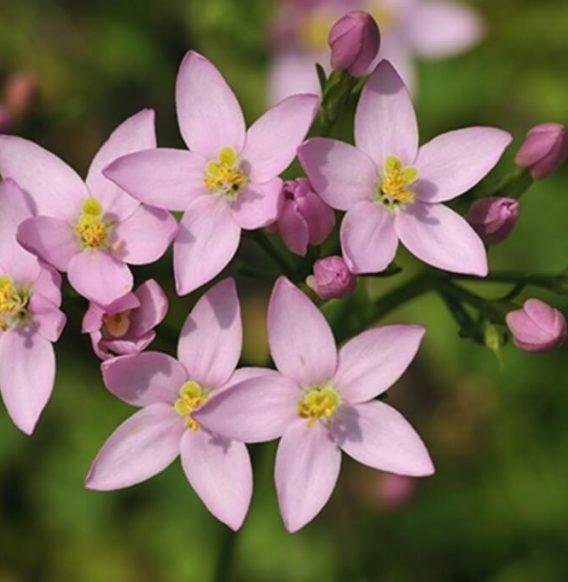 Centaurea minore, il fiore amico dell'apparato digestivo