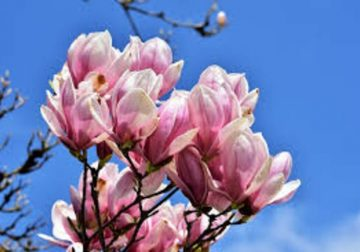 olio essenziale di magnolia