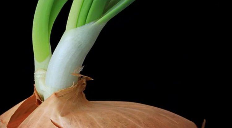 cipolla germogliata