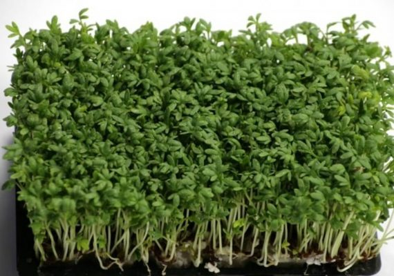 crescione pianta