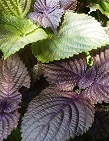 Scopri il shiso, pianta officinale, aromatica e ornamentale
