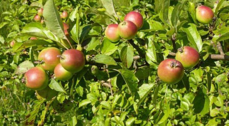 mele selvatiche
