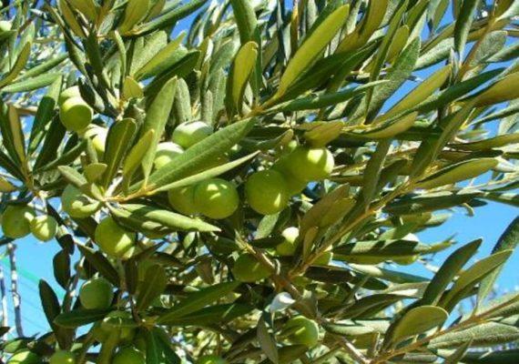 foglie di olivo