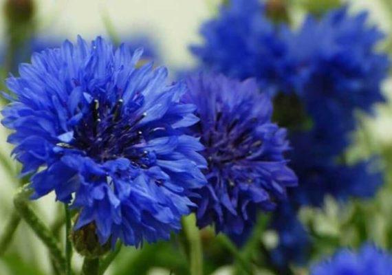 fiordaliso fiori eduli