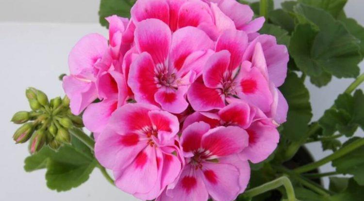 olio essenziale di geranio rosa