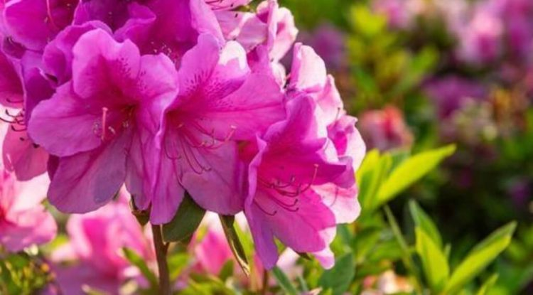 rododendro oli essenziali